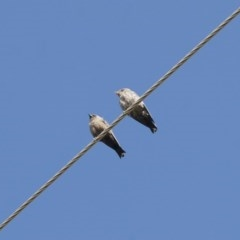 Artamus cyanopterus (Dusky Woodswallow) at Illilanga & Baroona - 11 Feb 2012 by Illilanga