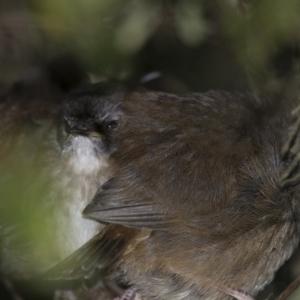 Sericornis frontalis at Michelago, NSW - 29 Sep 2013