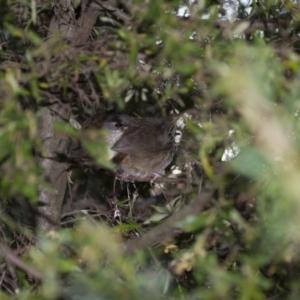 Sericornis frontalis at Illilanga & Baroona - 29 Sep 2013