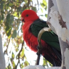 Alisterus scapularis (Australian King-Parrot) at Point Hut to Tharwa - 25 Aug 2018 by michaelb