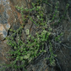 Galium bungoniensis at Bungonia National Park - 15 Oct 2007 by JackieMiles