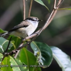 Gerygone mouki (Brown Gerygone) at Undefined - 22 Aug 2018 by CharlesDove