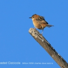 Cisticola exilis (Golden-headed Cisticola) at Undefined - 22 Aug 2018 by CharlesDove