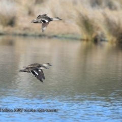 Anas gracilis (Grey Teal) at Undefined - 22 Aug 2018 by Charles Dove