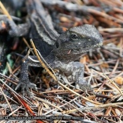Amphibolurus muricatus (Jacky Lizard) at One Track For All - 24 Aug 2018 by Charles Dove
