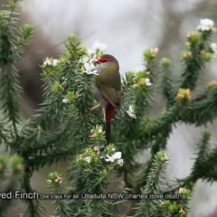 Neochmia temporalis (Red-browed Finch) at One Track For All - 24 Aug 2018 by Charles Dove