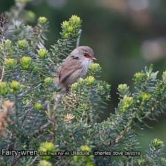 Malurus lamberti (Variegated Fairy-wren) at One Track For All - 24 Aug 2018 by CharlesDove