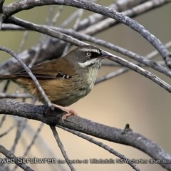 Sericornis frontalis (White-browed Scrubwren) at One Track For All - 24 Aug 2018 by CharlesDove