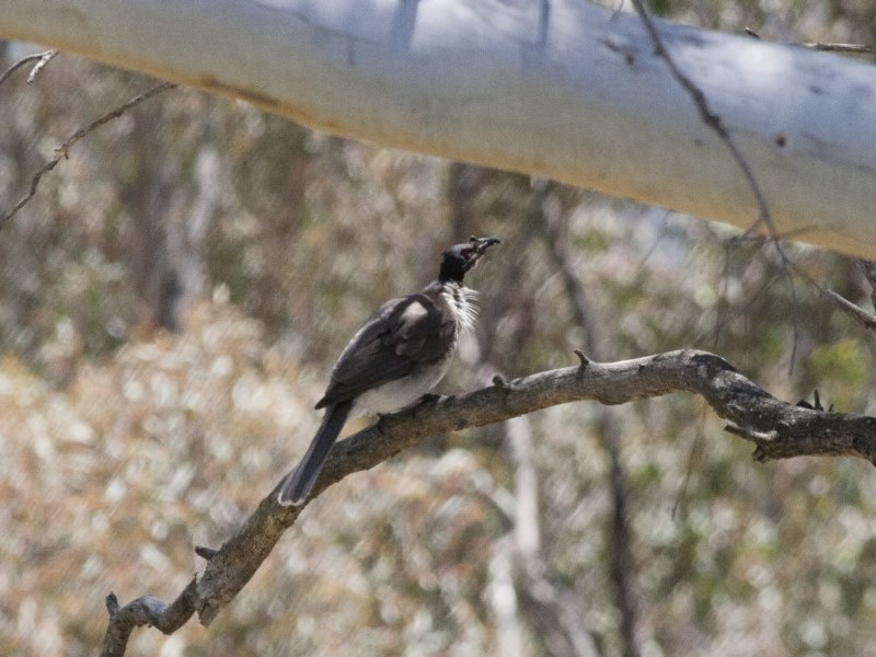 Philemon corniculatus at Michelago, NSW - 5 Nov 2011