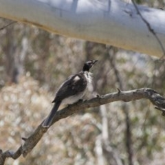 Philemon corniculatus (Noisy Friarbird) at Illilanga & Baroona - 5 Nov 2011 by Illilanga