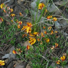 Pultenaea microphylla (Egg and Bacon Pea) at Bungonia National Park - 14 Oct 2007 by JackieMiles