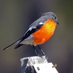 Petroica phoenicea (Flame Robin) at Tidbinbilla Nature Reserve - 28 Aug 2018 by RodDeb