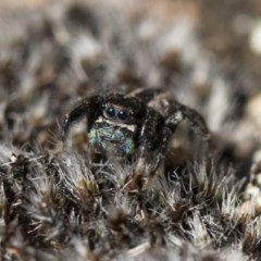 Jotus auripes (Jumping spider) at Illilanga & Baroona - 21 Jun 2018 by Illilanga