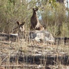 Macropus giganteus (Eastern Grey Kangaroo) at Hughes Grassy Woodland - 28 Aug 2018 by JackyF