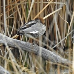 Chenonetta jubata at Jerrabomberra Wetlands - 30 Aug 2018
