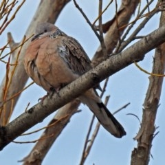 Streptopelia chinensis (Spotted Dove) at Jerrabomberra Wetlands - 30 Aug 2018 by RodDeb