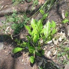 Nicotiana suaveolens (Native Tobacco) at Morton National Park (CNM portion) - 10 Nov 2007 by JackieMiles