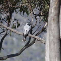 Coracina novaehollandiae (Black-faced Cuckooshrike) at Illilanga & Baroona - 8 Dec 2011 by Illilanga