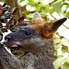 Wallabia bicolor (Swamp Wallaby) at Brogo, NSW - 31 Aug 2018 by MaxCampbell