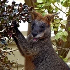 Wallabia bicolor at Brogo, NSW - 31 Aug 2018