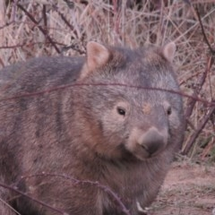 Vombatus ursinus (Wombat) at Pine Island to Point Hut - 20 Aug 2018 by michaelb