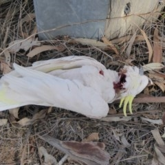 Cacatua galerita (Sulphur-crested Cockatoo) at Red Hill Nature Reserve - 1 Sep 2018 by JackyF