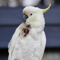 Cacatua galerita (Sulphur-crested Cockatoo) at Higgins, ACT - 31 Aug 2018 by Alison Milton