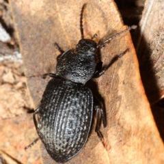 Adelium porcatum (Darkling Beetle) at National Arboretum Forests - 27 Aug 2018 by Harrisi
