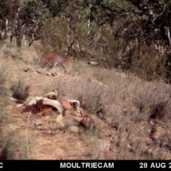 Macropus rufogriseus (Red-necked Wallaby) at Illilanga & Baroona - 28 Aug 2018 by Illilanga