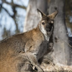 Macropus rufogriseus (Red-necked Wallaby) at Illilanga & Baroona - 23 Jun 2018 by Illilanga