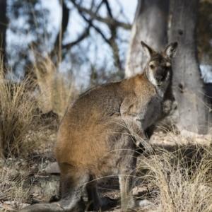 Macropus rufogriseus at Illilanga & Baroona - 23 Jun 2018