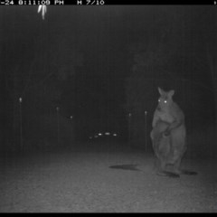 Macropus giganteus (Eastern Grey Kangaroo) at Illilanga & Baroona - 24 Jul 2017 by Illilanga