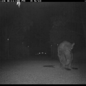 Macropus giganteus at Illilanga & Baroona - 24 Jul 2017