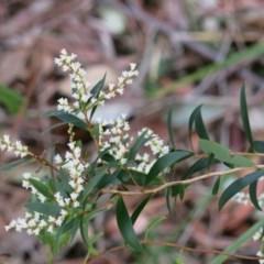 Leucopogon affinis (Lance Beard-heath) at Conjola, NSW - 26 Aug 2018 by Margieras