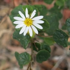 Olearia tomentosa (Toothed Daisy Bush) at Conjola, NSW - 26 Aug 2018 by Margieras