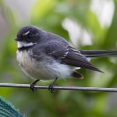 Rhipidura fuliginosa (Grey Fantail) at Illilanga & Baroona - 19 Oct 2013 by Illilanga