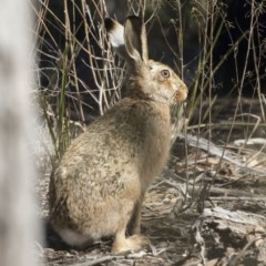 Lepus capensis (Brown Hare) at Gossan Hill - 2 Sep 2018 by Alison Milton