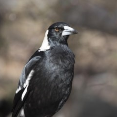 Gymnorhina tibicen (Australian Magpie) at Gossan Hill - 2 Sep 2018 by Alison Milton