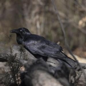 Corvus coronoides at Gossan Hill - 2 Sep 2018