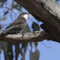 Cormobates leucophaea (White-throated Treecreeper) at Bruce, ACT - 2 Sep 2018 by Alison Milton