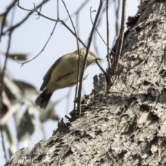 Acanthiza reguloides (Buff-rumped Thornbill) at Bruce, ACT - 2 Sep 2018 by Alison Milton