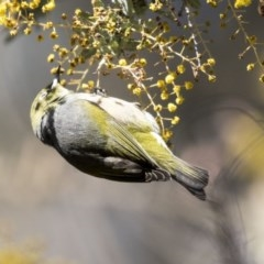 Zosterops lateralis (Silvereye) at Bruce, ACT - 2 Sep 2018 by Alison Milton