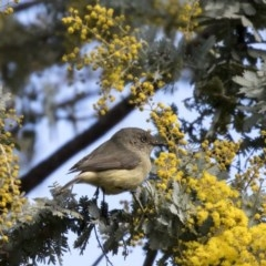 Acanthiza reguloides (Buff-rumped Thornbill) at Gossan Hill - 2 Sep 2018 by Alison Milton