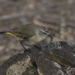 Acanthiza chrysorrhoa (Yellow-rumped Thornbill) at Bruce, ACT - 2 Sep 2018 by Alison Milton