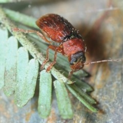 Unidentified Leaf beetle (Chrysomelidae) (TBC) at Gossan Hill - 2 Sep 2018 by Harrisi