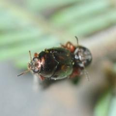 Ditropidus sp. (genus) (Leaf beetle) at Gossan Hill - 2 Sep 2018 by Harrisi