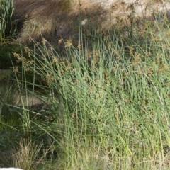 Schoenoplectus validus at Michelago, NSW - 11 Feb 2014