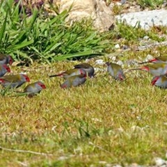 Neochmia temporalis (Red-browed Finch) at Molonglo Valley, ACT - 3 Sep 2018 by RodDeb