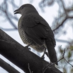 Ptilonorhynchus violaceus (Satin Bowerbird) at ANBG - 3 Sep 2018 by RodDeb