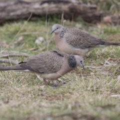Streptopelia chinensis (Spotted Dove) at Jerrabomberra Wetlands - 2 Sep 2018 by Alison Milton